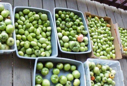 A Bittersweet Harvest