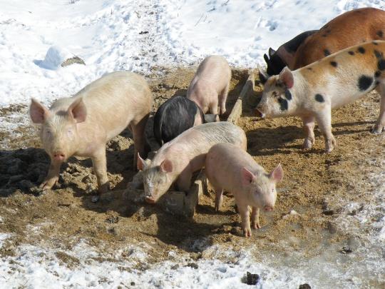 George's Pigs