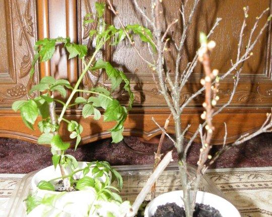 Elderberries & Cherry Bush Clippings