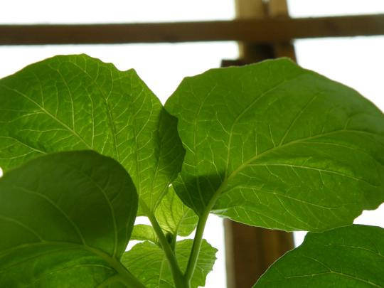 A Tomatillo Leaf.