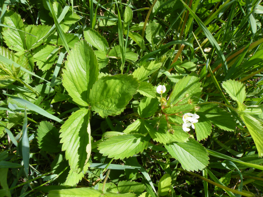 Small Wild Strawberries