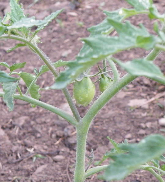 Sheboygan Tomatoes