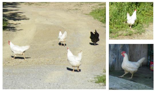 George's Free Range Chickens