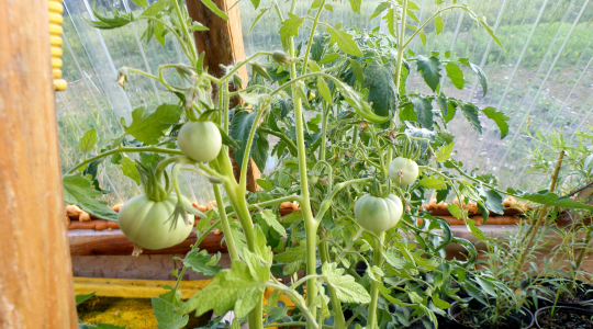 Seed Test Tomatoes