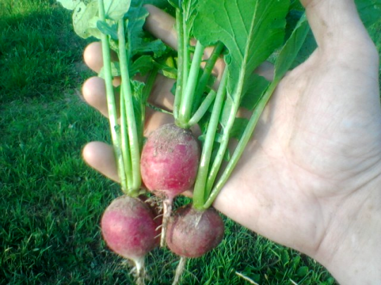 First Three Radishes