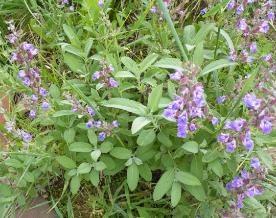 Sage I planted in 2009