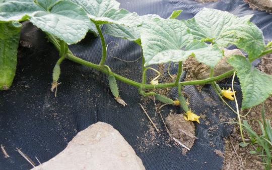 Boston Pickling Cucumbers