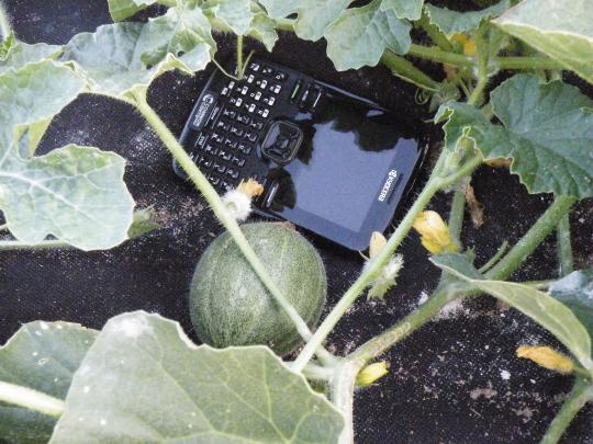 First Melons