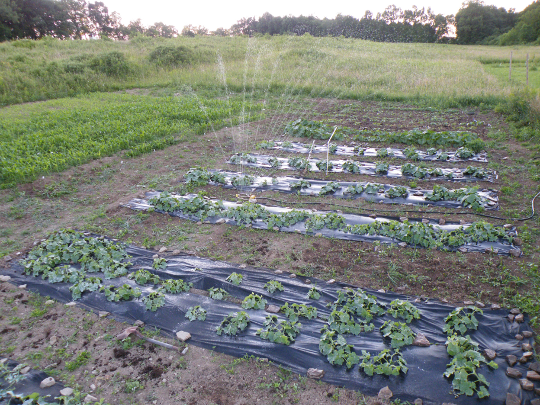 Watering the Cucurbits
