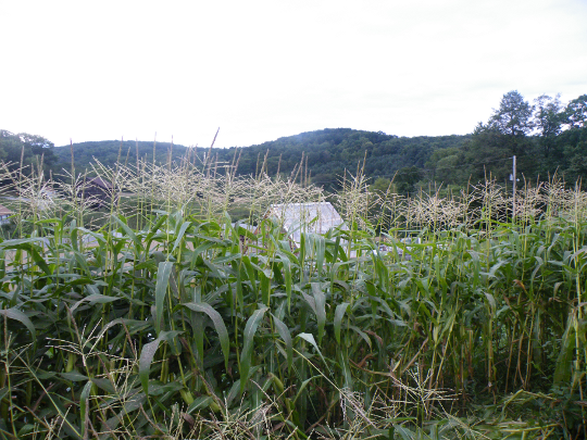 Corn, Greenhouse in the background