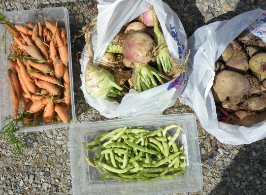 Beets, Turnips, Carrots, Kohlrabi & String Beans