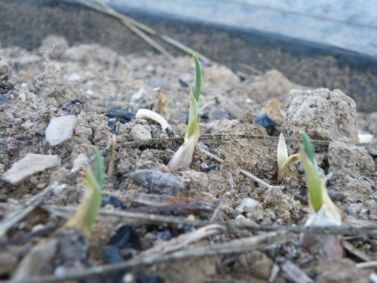 Garlic is Growing