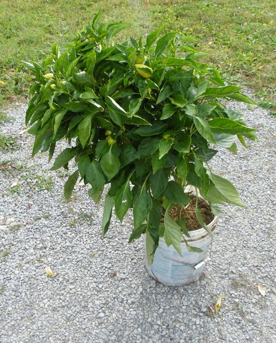 Large Pepper Plant