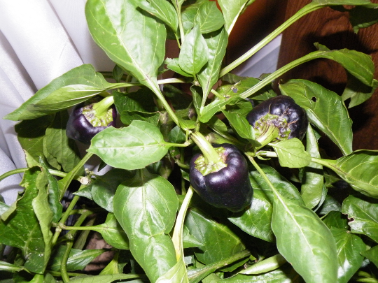 Purple Peppers