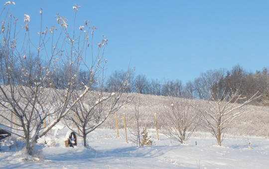 Fruit Trees Await Their Yearly Pruning.
