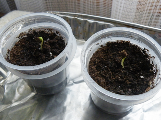 Apple Seedlings