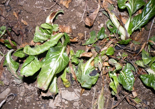 Swiss Chard - Grown Under a Row Cover