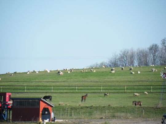Neighbor's Sheep in the Sun