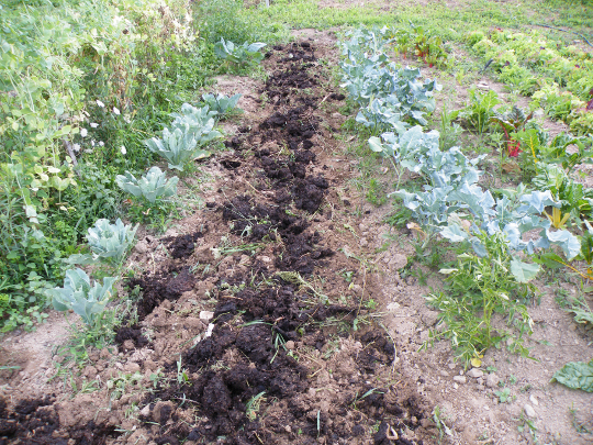 Adding Fertilizer - Composted Manure