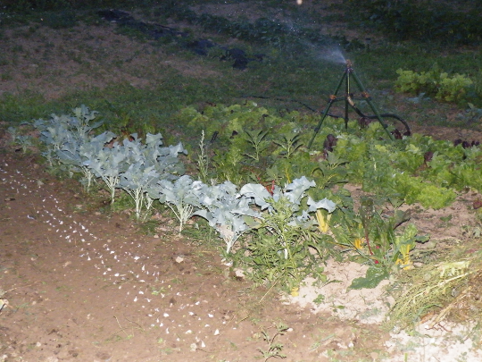 Garlic, Turnips and Beets Planted