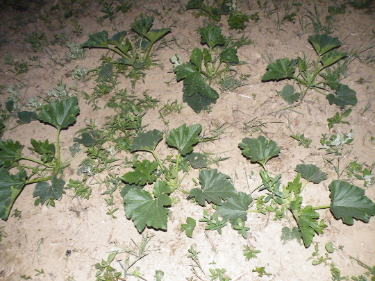 Young Zucchini Plant Small Zucchini Plants