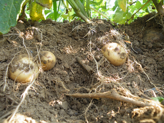 Roots and Potatoes