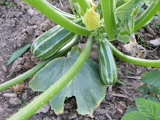 Striped Zucchini