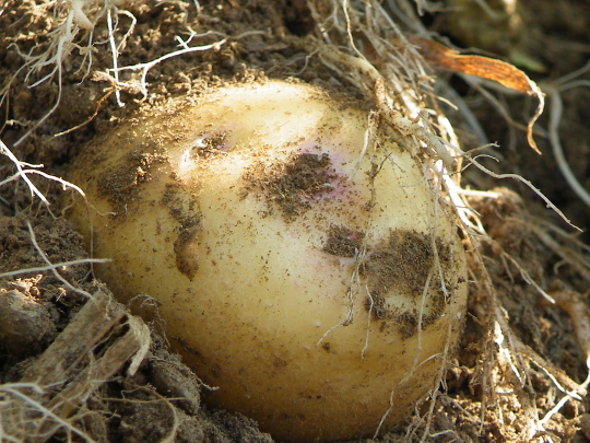 Yukon Gold Potato Close Up