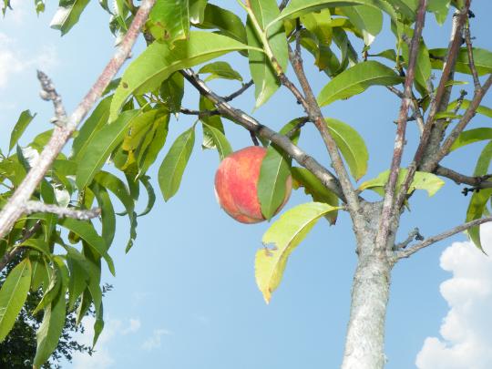 First Peach