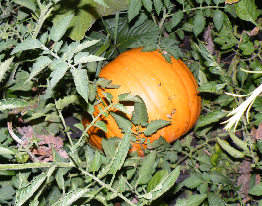 Volunteer Pumpkin