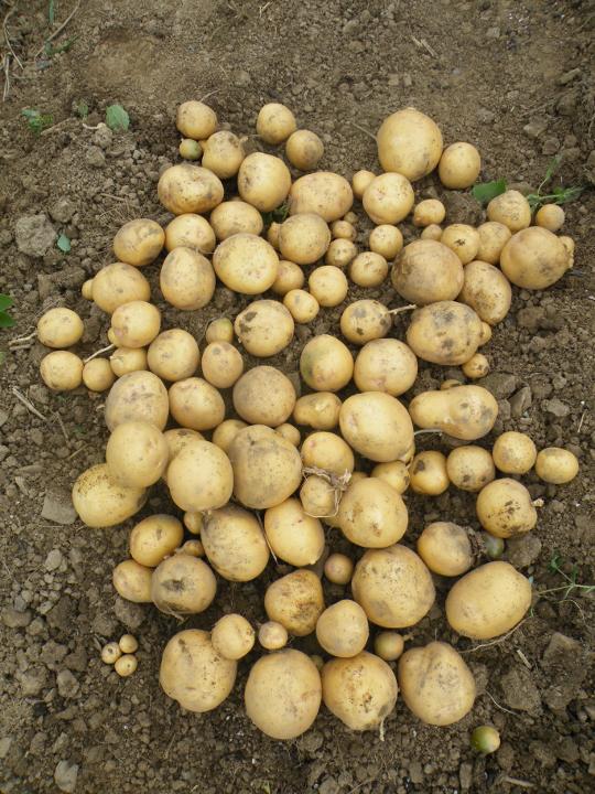 Uncut Seed Potatoes