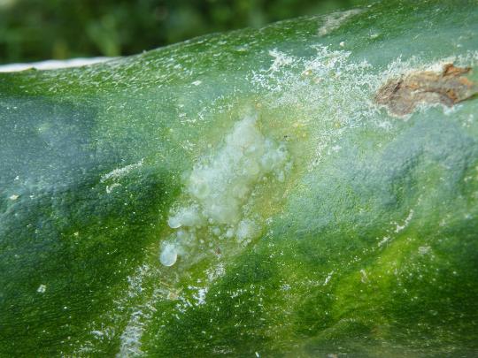 Zucchini White Spots