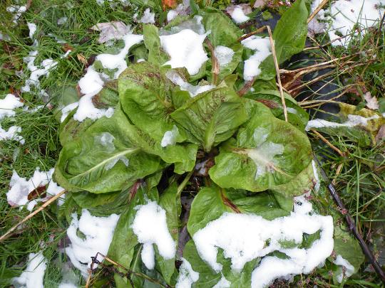 Lettuce Under Snow