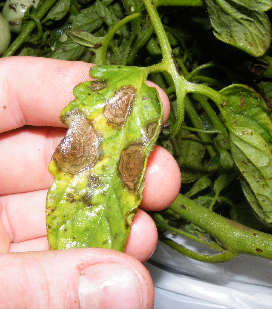 Battling Late Blight