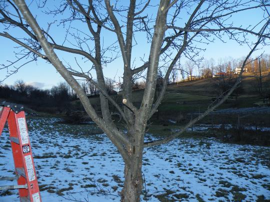 Large Apple Tree Pruned