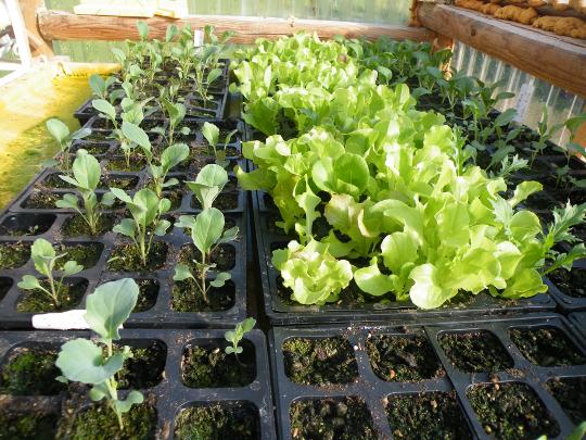 Cauliflower, Lettuce,  Pak Choi
